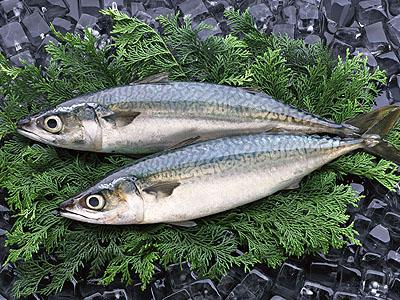 鯖魚 (サバ) ✈