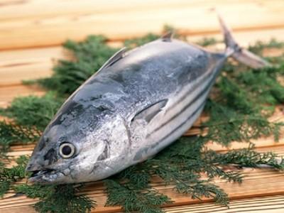 鰹魚 (カツオ) ✈