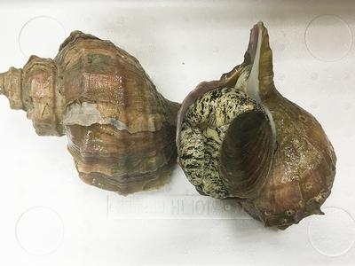 海螺 (活ツブ貝) ✈