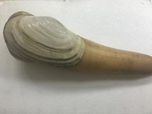 象牙蚌 (活白ミル貝) ✈