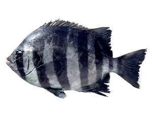 石鯛 (イシダイ) ✈